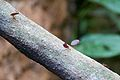 Leafcutter ant at Chester Zoo.jpg