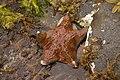 Leather Star (2614532765).jpg
