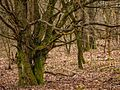 Leitersweiler Alte Bäume.jpg