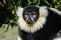 Lemur (26726561838).jpg