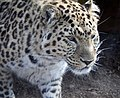Leopard Head 1 (4506430484).jpg