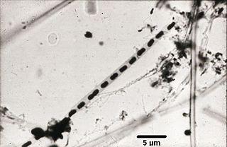 Comamonadaceae family of bacteria