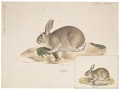 Lepus cuniculus - 1700-1880 - Print - Iconographia Zoologica - Special Collections University of Amsterdam - UBA01 IZ20600227.tif