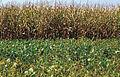 Les Plantes Cultivades. Cereals. Imatge 83.jpg