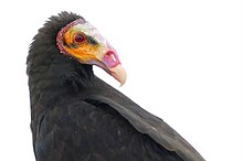 Lesser Yellow-headed Vulture (Cathartes burrovianus).jpg