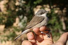 Lesserwhitethroat.jpg