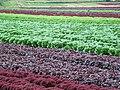 Lettuces - geograph.org.uk - 468060.jpg