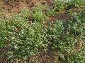 Leucas lavandulifolia Sm. (8581396653).jpg