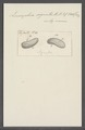 Leucophra signata - - Print - Iconographia Zoologica - Special Collections University of Amsterdam - UBAINV0274 113 16 0027.tif