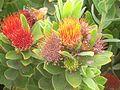 Leucospermum oleifolium flower.jpg