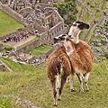 Lhamas nas Ruínas de Machu Pichu Peru.jpg