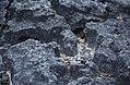 Lichen on newly-lithified rock. Little San Salvador (27093461489).jpg