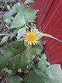 Likely Sonchus oleraceus 5.jpg