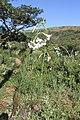 Lilium formosanum (Liliaceae) (4757271028).jpg