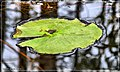 Lily Pad on Surface - Flickr - pinemikey.jpg