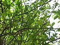 Lime - ചെറുനാരകം 08.JPG