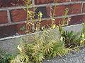 Linaria vulgaris - 09.jpg