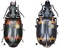 Lioptera erotyloides (10.3897-zookeys.816.29738) Figure 86.jpg