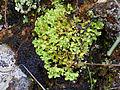Liquen Cladonia foliacea Habito 2011-2-20 PtoNiefla SierraMadrona.jpg