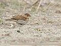Little Bunting (Emberiza pusilla) (48553182211).jpg