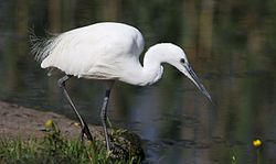 Little Egret, Egretta garzetta at Rietvlei Nature Reserve, Gauteng, South Africa (22167904273).jpg