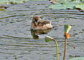 Little Grebe (Tachybaptus ruficollis)- Non-breeding- preening after bath in an Indian Lotus (Nelumbo nucifera) Pond in Hyderabad, AP W IMG 7611.jpg