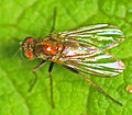 Little Long-legged Fly (Dolichopodidae) (15269097401).jpg