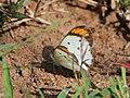 Little Orange Tip from Melagiri TN IMG 6483.jpg