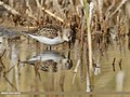 Little Stint (Calidris minuta) (45911731922).jpg