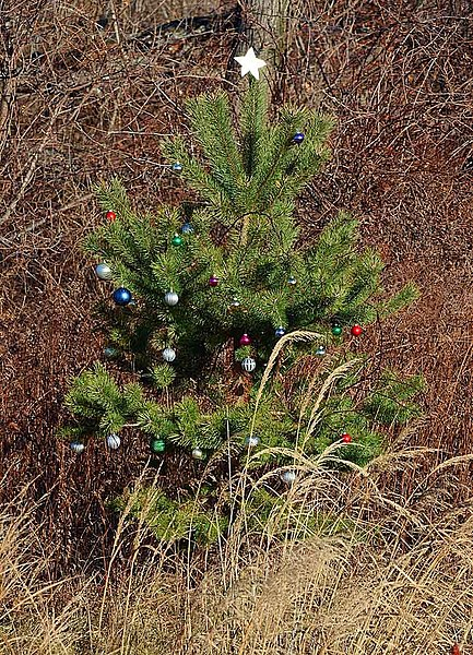 File:Living Christmas tree (6565984359).jpg