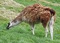 Llamas (33393814920).jpg