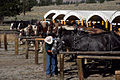 Load em up! Cowboy cookout (3679491946).jpg