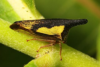 <i>Thelia</i> genus of insects