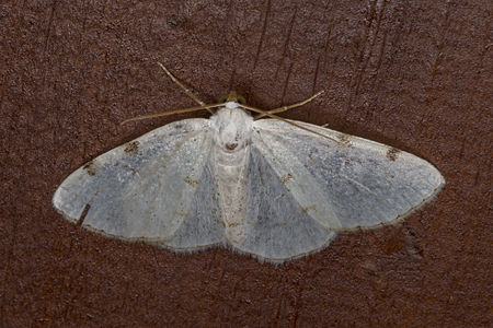 Lomographa bimaculata, Lodz(Poland)02(js).jpg