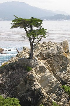 Lone cypress in 17-mile-drive.jpg