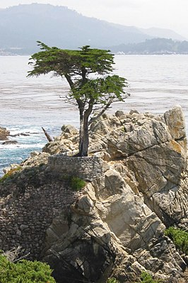 De iconische Lone Cypress langs de 17-Mile Drive.