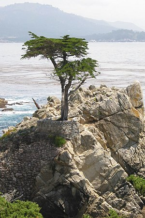 "Cupressus macrocarpa - The ""Lone Cypress"" near Monterey, California"