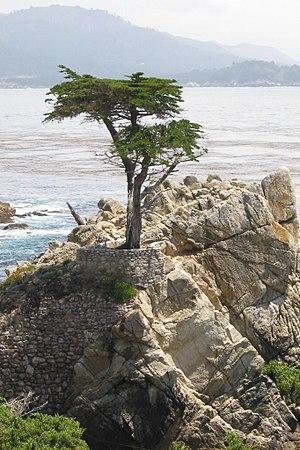 "Cupressus macrocarpa - The ""Lone Cypress"" near Monterey, California"