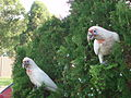 Long-billed Corellas (5352834365).jpg
