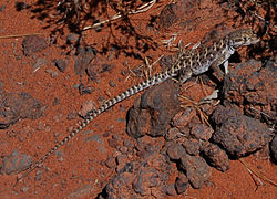 Long-nosed leopard lizard.jpg