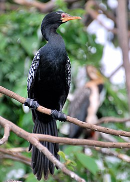 Long-tailed cormorant (8397563834).jpg