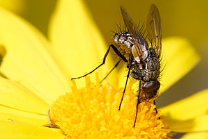 Long Tongued Tachinid Fly, Subfamily Dexiinae,...