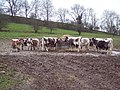 Longhorn Cattle - geograph.org.uk - 313045.jpg