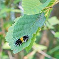 Lophocampa maculata caterpillar in Quesnel, BC (DSCF5196).jpg