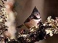 Lophophanes cristatus -Aviemore, Scotland-8 (1).jpg