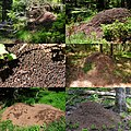 Lots of Ants nests in the Black Forest at May 2015 - panoramio.jpg