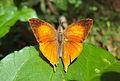 Loxura atymnus - Yamfly 31.JPG