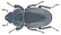 Lucanus cervus (Linné, 1758) female (20596293601).png