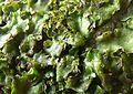 Lunularia cruciata 090312a.jpg