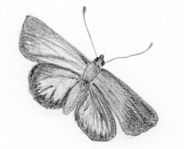 File:Lycenidae Butterflies, Blues.jpg
